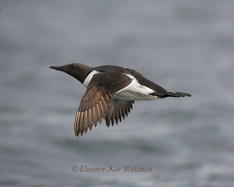 Common Murre Flying over Water, Bonaventure Island, Quebec