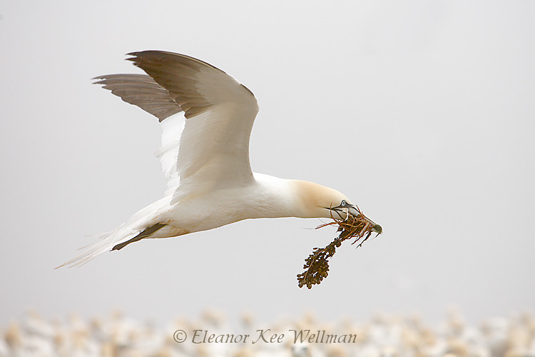 Northern Gannet Fly By with Seaweed, Bonaventure Island, Quebec
