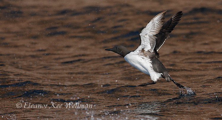 Common Murre Taking Off From Water, Bonaventure Island, Quebec