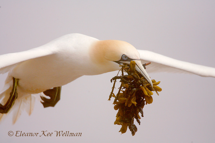 Northern Gannet with Seaweed, Close-up, Bonaventure Island, Quebec