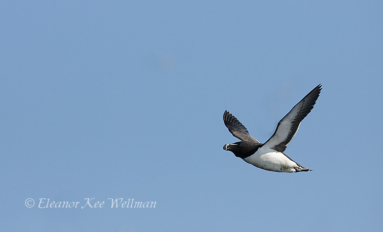 Razorbill Flying By, Bonaventure Island, Quebec