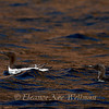 Two Common Murres on Brown\Blue Water, Bonaventure Island, Quebec