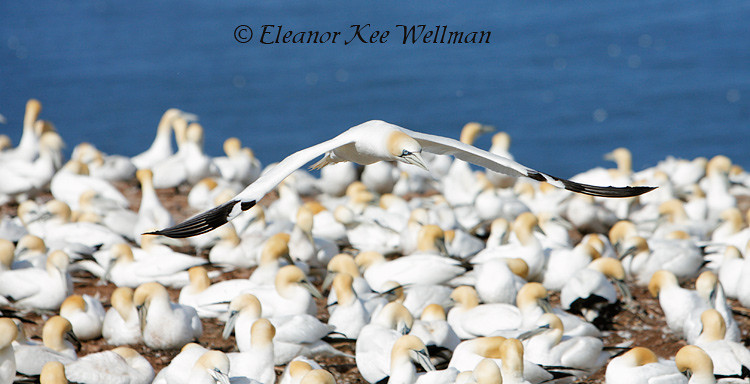 Northern Gannet Flying Low Over Colony, Bonaventure Island, Quebec
