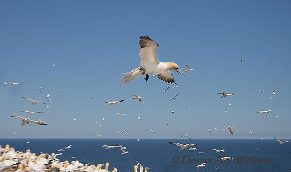 Northern Gannets Flying Over Colony, Bonaventure Island, Quebec