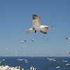 Northern Gannets Flying Over Colony, Bonaventure Island, Quebec
