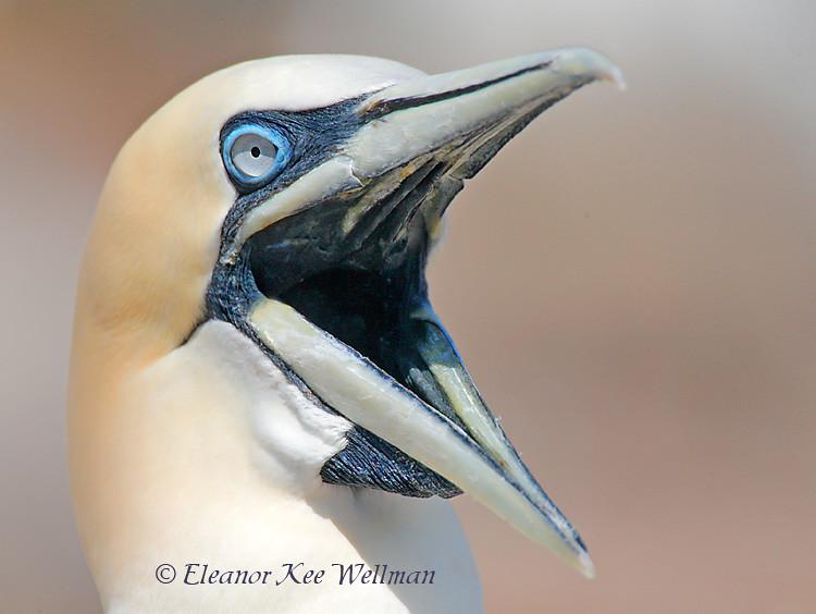 Northern Gannet Yawn