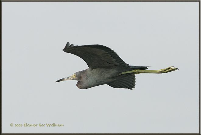 Little Blue Heron Flying