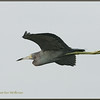 Little Blue Heron Flying