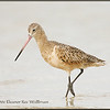 Hudsonian Godwit - Winter