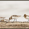 Sanderlings - Fall Migration