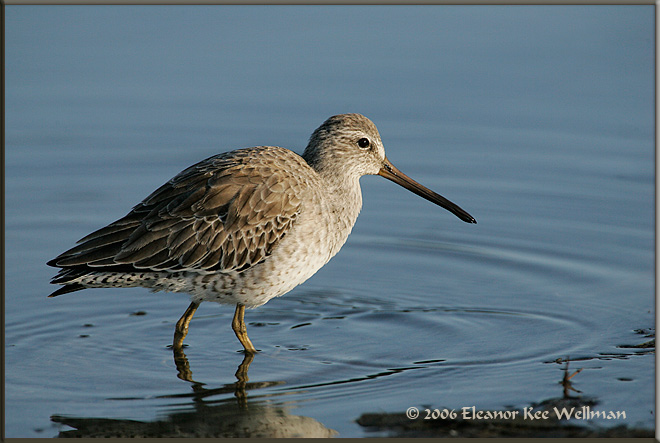 Short-billed Dowitcher - Winter