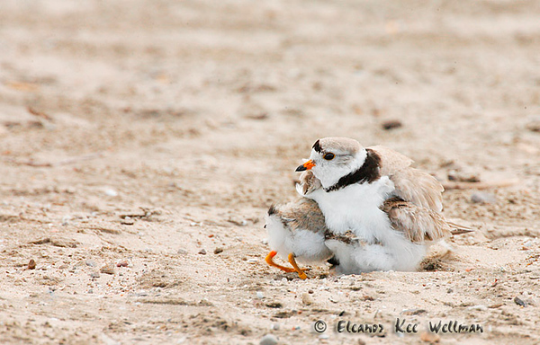 Piping Plover Sheltering Chicks - Wasaga Beach