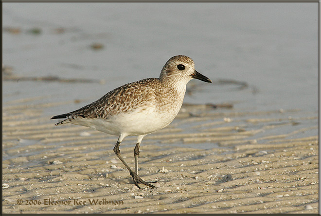 Black-bellied Plover - Winter