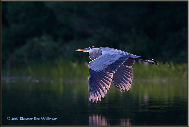 Great Blue Heron in Evening Light
