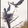 Great Blue Heron Bringing Stick to Nest