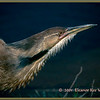 American Bittern in Breeding Plumage