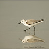 Sanderling Reflected - Winter