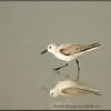 Sanderling Reflected - Winter