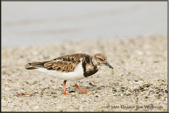 Ruddy Turnstone with Ghostcrab