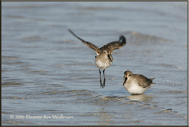 Dunlin Lift-Off - Winter