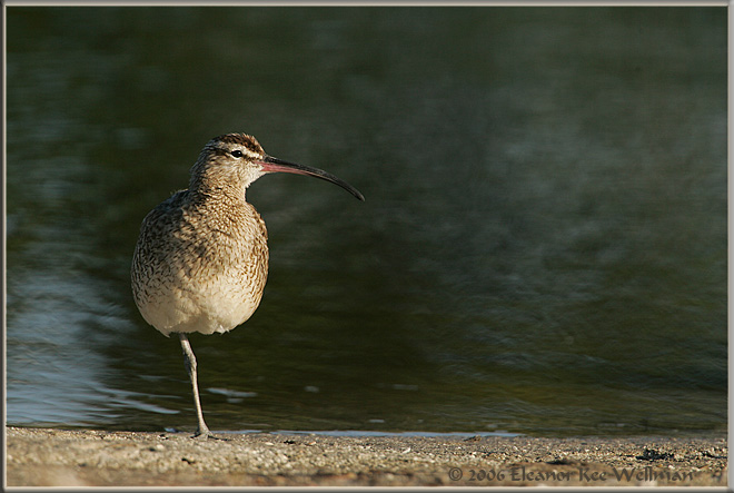 Whimbrel in Winter