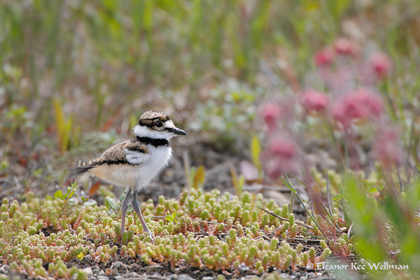 Kildeer Chick in Prairie Smoke
