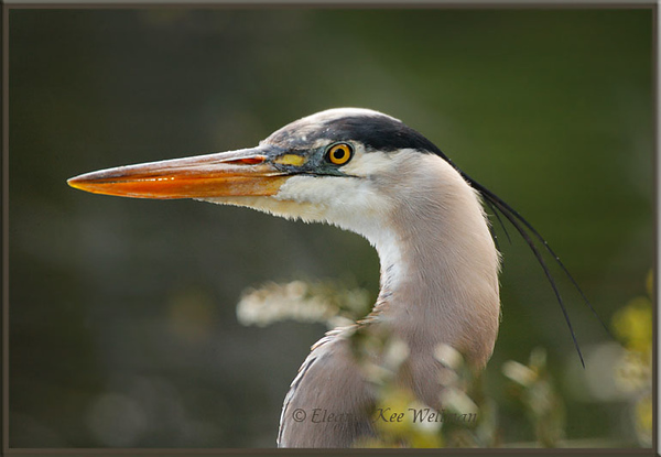 Great Blue Heron Portrait with Blooming Leatherleaf