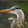 Great Blue Heron Portrait with Blooming Leatherleaf