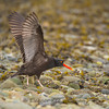 Black Oystercatcher Wing Stretch