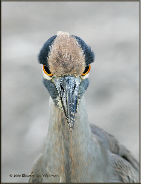 Yellow-crowned Night Heron Juvenile Portrait