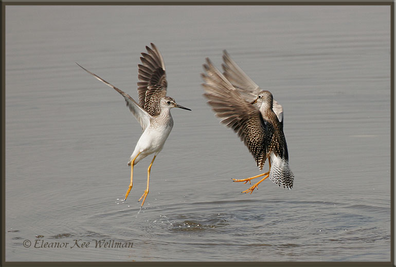 Lesser Yellowlegs Conflict
