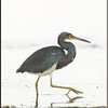 Tri-colored Heron Hunting