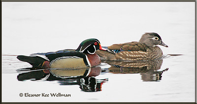Wood Duck Pair, Reflected