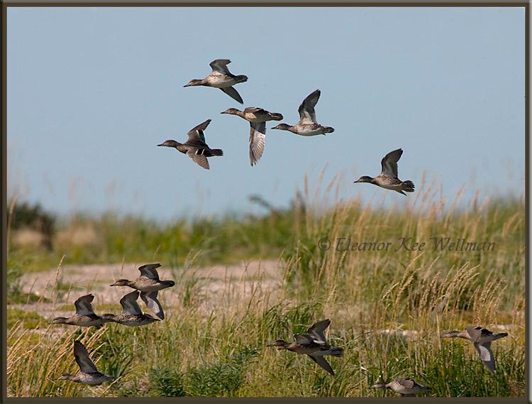 Green-winged Teal #3<br /> Cape Tatnum, Hudson Bay, Manitoba