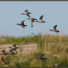 Green-winged Teal #3<br /> Cape Tatnum, Hudson Bay, Manitoba