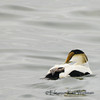 Common Eider, Male, swimming, head turned left.  Florillon Park, Gaspe Penininsula, Quebec