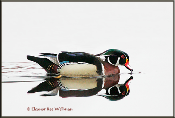 Wood Duck Dipping Bill