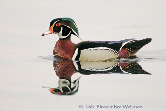 Wood Duck Mirrored