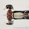 Wood Duck Mirrored
