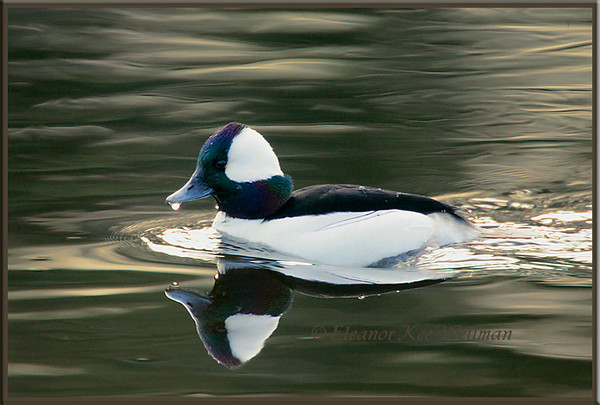 Bufflehead, Male, Swimming