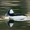 Bufflehead, Male, Swimming
