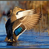 Mallard, Female, Wing Flap