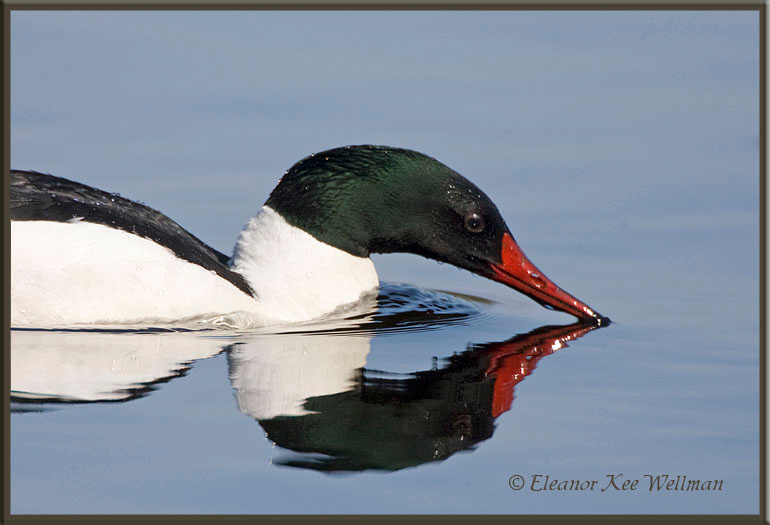 Common Merganser Dipping Bill with Reflection