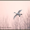 Tundra Swan - Flying in Pink<br /> Aylmer, ON