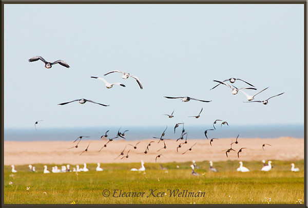Snow Geese and Green-winged Teal<br /> Migration stop-over, Cape Tatnum, Hudson Bay, Manitoba