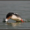 Red-breasted Merganser Male Diving<br /> Lake Erie, ON