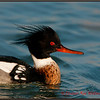 Red-breasted Merganser Male Portrait<br /> Lake Erie, ON