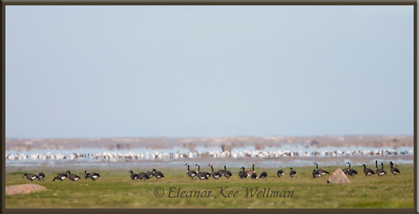 Canada Geese and Snow Geese Feeding<br /> In Migration at Cape Tatnum, Hudson Bay, Manitoba,