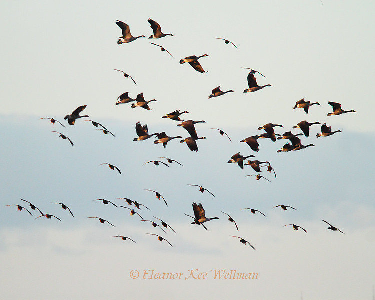 Canada Geese & Mallards Flying