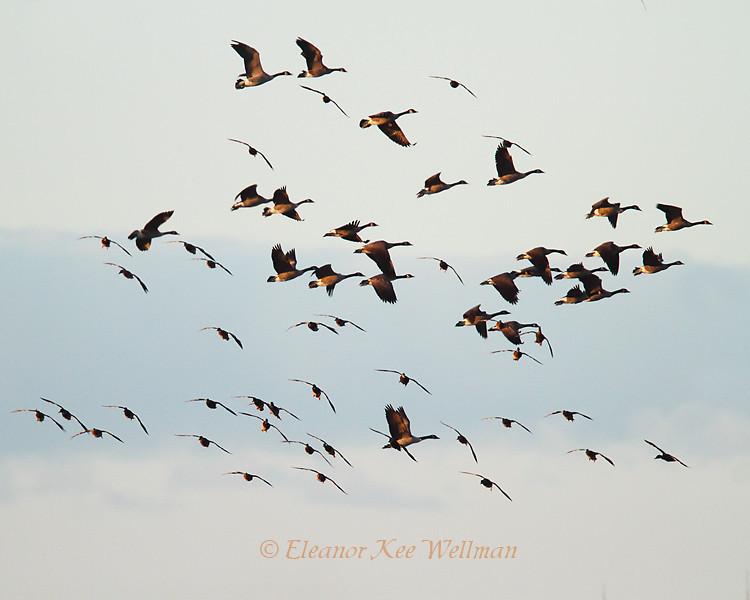 Canada Geese & Mallards Flying